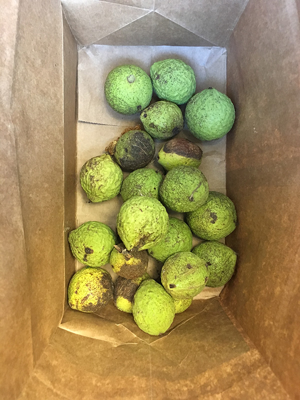 Bright green husks of black walnuts sitting in paper bag