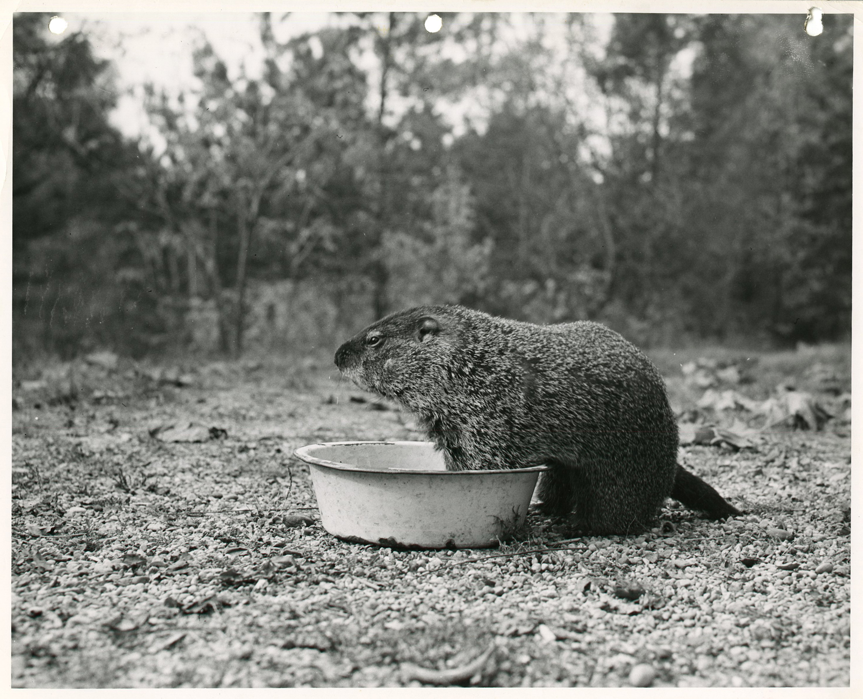 Black and white photograph of a groundhog sitting in a pan