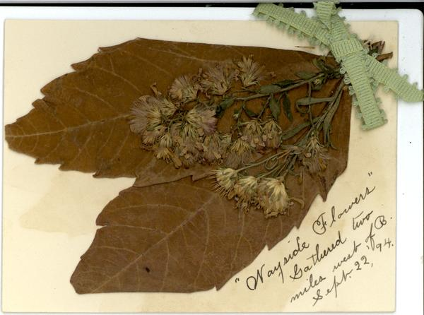 Pressed flower sent to Janie September 22, 1894.